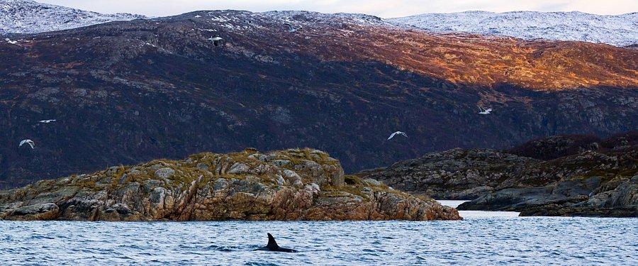 Januar - Orca bei Tromsø, Norwegen