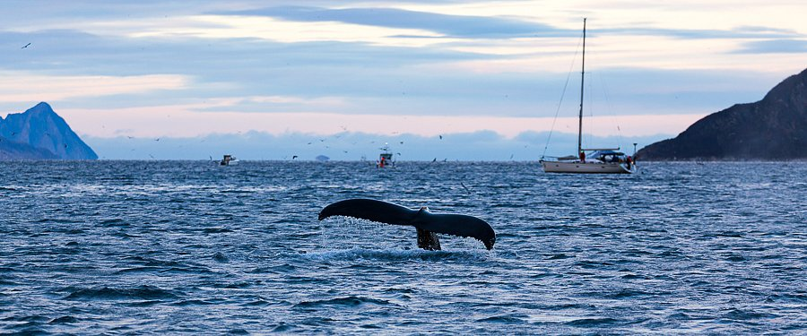 Orca, bei Tromsø ∙ Orca, near Tromsø
